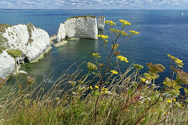 Wild Parsnip (Pastinaca sativa) with yellow flowers and Wild carrot (Daucus carota) with white flowers growing on chalk cliff top grassland, Old Harry's Rocks, Studland, Dorset, UK, August.