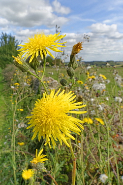 Perennial sow-thistle (Sonchus arvensis) clump flowering on a field margin, Wiltshire, UK, September.