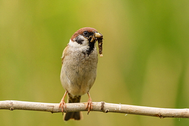 Eurasian tree sparrow (Passer montanus) with insect prey to feed its offspring, Northern Spain. May.