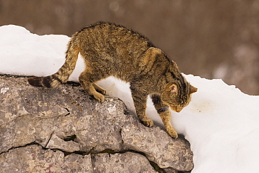 Wild cat (Felis silvestris) climbing down a rock, Cantabrian Mountains, Spain. January