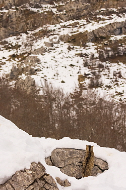 Wild cat (Felis silvestris) camouflaged on a rock surrounded by snow, Cantabrian Mountains, Spain. January.
