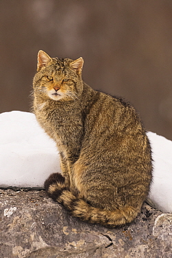 Wild cat (Felis silvestris) sitting on a rock with snow, Cantabrian Mountains, Spain. January.