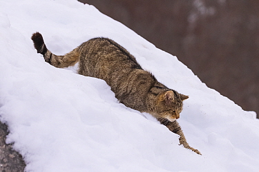 Wild cat (Felis silvestris) walking down through snow, Cantabrian Mountains, Spain. January.