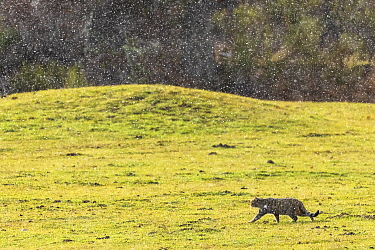 Wild cat (Felis silvestris) walking iwith snow falling, Cantabrian Mountains, Spain. December.