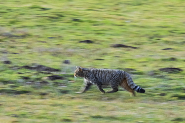 Wild cat (Felis silvestris) walking quickly, Cantabrian Mountains, Spain. December.