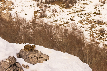 Wild cat (Felis silvestris) resting on rock surrounded by snow, Cantabrian Mountains, Spain. January
