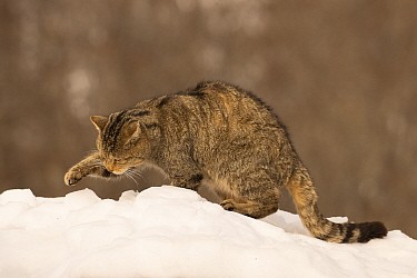 Wild cat (Felis silvestris) sitting in snow, paw raised, Cantabrian Mountains, Spain. January.