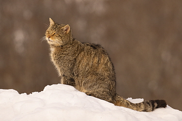 Wild cat (Felis silvestris) sitting in snow, Cantabrian Mountains, Spain. January.