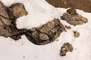Wild cat (Felis silvestris) sitting on rock,surrounded by snow, well camouflaged, Cantabrian Mountains, Spain. January.