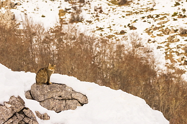 Wild cat (Felis silvestris) sitting on rock surrounded by snow, Cantabrian Mountains, Spain. January.