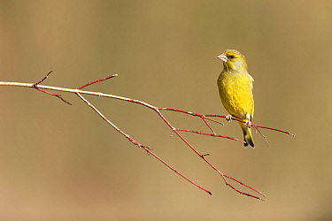 Greenfinch (Carduelis chloris) perched on branch, Lorraine, France, February
