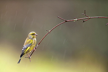 Greenfinch (Carduelis chloris) perched on branch in rain, Lorraine, France, January