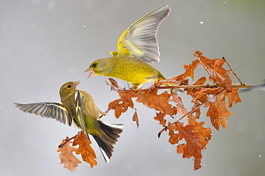 Greenfinches (Carduelis chloris) fighting on branch in the snow, Lorraine, France, January