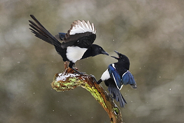 Magpies (Pica pica) fighting on branch in winter, Lorraine, France, January