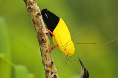 Twelve wired Bird of Paradise (Seleucidis melanoleuca) male displaying to a female at his display pole in the swamp rain forest at Nimbokrang, Papau, Indonesia, Island of New Guinea. He is using his u...