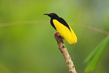 Twelve wired Bird of Paradise (Seleucidis melanoleuca) male at his display pole in the swamp rain forest at Nimbokrang, Papau, Indonesia, Island of New Guinea.