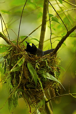 Long-tailed Paradigalla (Paradigalla carunculata) female sitting at nest