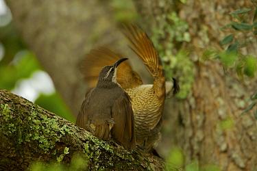 Paradise Riflebird (Ptiloris paradiseus) young males performing practice displays to each other, Papua New Guinea