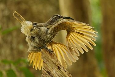 Paradise Riflebird (Ptiloris paradiseus) young male performing a practice display, Papua New Guinea