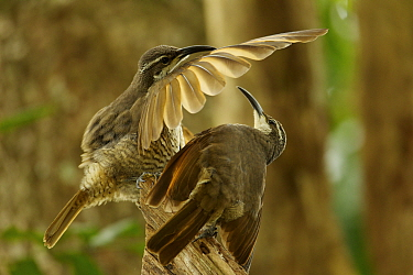 Paradise Riflebird (Ptiloris paradiseus) young male performing practice display to another young male, Papua New Guinea