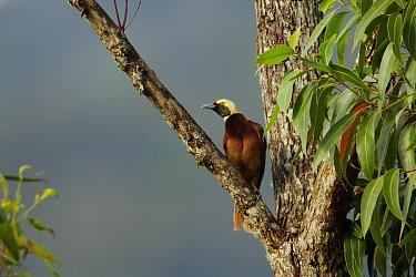 Raggiana Bird of Paradise (Paradisaea raggiana) young male in Eucalyptus tree, Papua New Guinea
