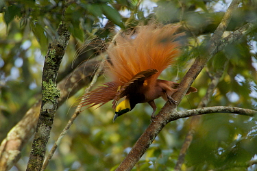 Raggiana Bird of Paradise (Paradisaea raggiana)adult male perched in forest canopy displaying to females, Kiburu Forest, Southern Highlands Province, Papua New Guinea.