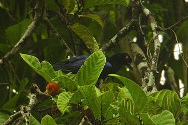 Jobi Manucode (Manucodia jobiensis) foraging for figs at a climbing liana species of Fig (Ficus sp.) Papua New Guinea