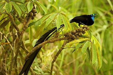 Stephanie's Astrapia Bird of Paradise (Astrapia stephaniae) adult male feeding at fruits of Shefflera plant, Papua New Guinea