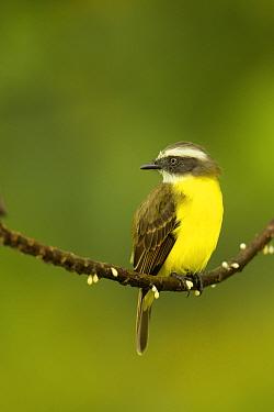 Social Flycatcher (Myiozetetes similis) at Napo Wildlife Center, Yasuni National Park, Orellana Province, Ecuador, July.
