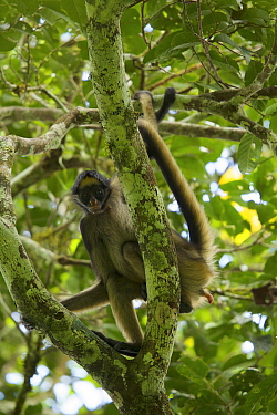 Spider Monkey (Ateles belzebuth) in tree above the clay lick at the Tiputini Biodiversity Station, Orellana Province, Ecuador, July.