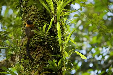 Golden-mantled Tamarin (Saguinus tripartitus) at the Tiputini Biodiversity Station, Orellana Province, Ecuador, July.
