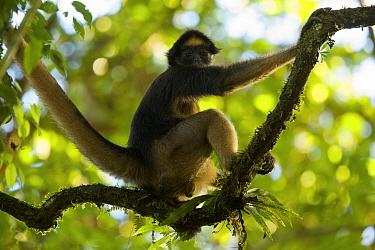 Spider Monkey (Ateles belzebuth) at the Tiputini Biodiversity Station, Orellana Province, Ecuador, July.