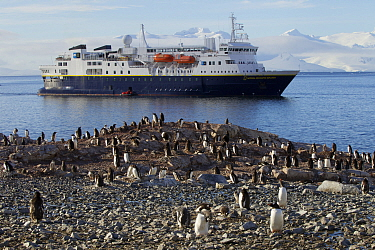 Gentoo penguin (Pygoscelis papua) colony in front of expedition ship 'National Geographic Explorer' at Cuverville Island, Ererra Channel, Gerlache Strait vicinity, Antarctica.