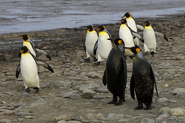 King penguins (Aptenodytes patagonicus) standing on shore, two with oily fronts. Salisbury Plain, South Georgia.
