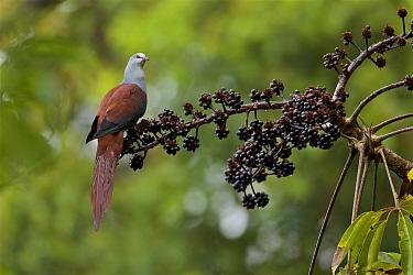 Great cuckoo-dove (Reinwardtoena reinwardtii) at a fruiting Shefflera tree, Huon Peninsula, Morobe Province, Papua New Guinea.