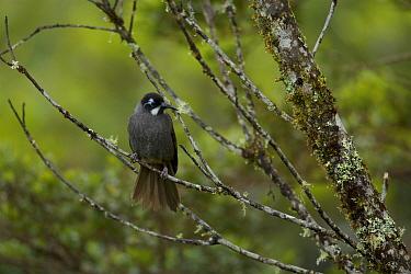 Belford's melidectes (Melidectes belfordi) perched in a tree. Papua New Guinea