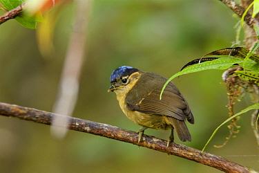 Blue-capped Ifrita (Ifrita kowaldi) Papua New Guinea.