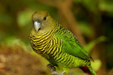 Brehm's tiger parrot (Psittacella brehmii) female, Papua New Guinea.