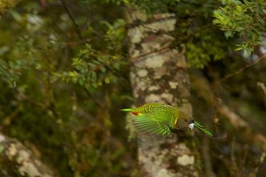 Brehm's Tiger Parrot (Psittacella brehmii) male in flight through the montane rainforest. Papua New Guinea.