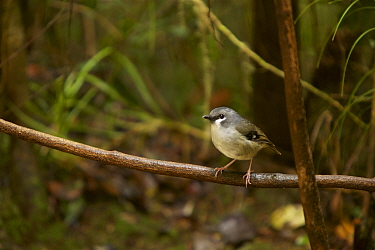 Ashy robin (Poecilodryas albispecularis albispecularis) Arfak Mountains, West Papua, New Guinea. Endemic.