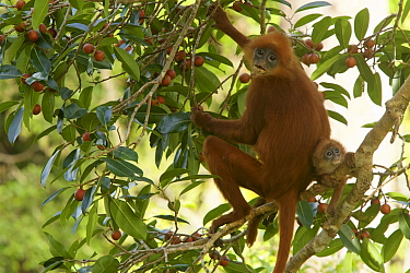 Red leaf monkey (Presbytis rubicunda) with baby, in strangler fig tree (Ficus dubia), Gunung Palung National Park, Borneo.