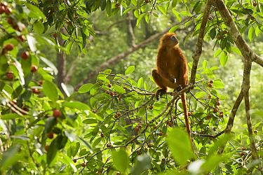 Red leaf monkey (Presbytis rubicunda) in strangler fig tree (Ficus dubia) Gunung Palung National Park, Borneo