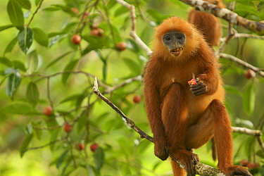 Red leaf monkey (Presbytis rubicunda) female eating fruit in strangler fig tree (Ficus dubia) Gunung Palung National Park, Borneo
