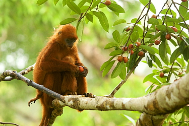 Red leaf monkey (Presbytis rubicunda) female with baby in strangler fig tree (Ficus dubia) Gunung Palung National Park, Borneo