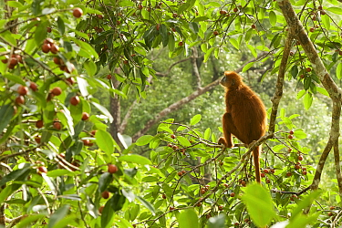 Red leafmonkey (Presbytis rubicunda) female in Strangler fig tree (Ficus dubia), Gunung Palung National Park, Borneo.