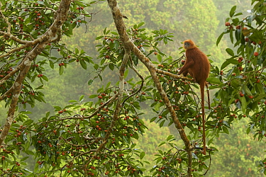 Red Leaf Monkey (Presbytis rubicunda) in Strangler fig tree (Ficus dubia) eating a fig. Gunung Palung National Park, Borneo.