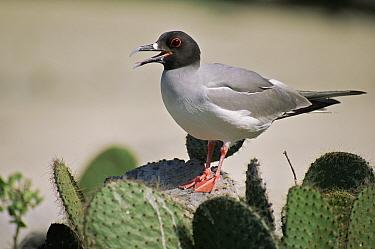 Swallow-tailed gull (Larus furcatus) standing on {Opuntia sp} cactus calling, Genovesa (Tower) Island, Galapagos, June
