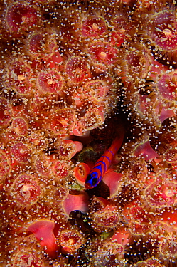 Blue-banded Goby (Lythrypnus dalli) rests amongst a colony of sea anemones, Channel Islands, Pacific, California, USA