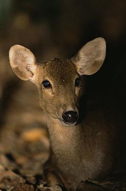 Calamian Deer (Axis calamianensis) wild, Dimakya Island, Calamian Islands, Palawan, Philippines, Endangered