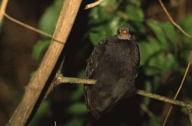 Micronesian megapode / scrubfowl (Megapodius laperouse) roosting in a tree. Rock Islands, Republic of Palau. Endangered.